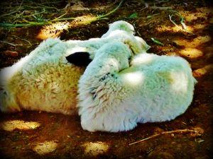 2 lambs a napping